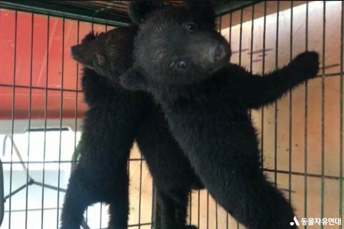 올해 불법번식한 새끼 반달가슴곰(사진=동물자유연대)